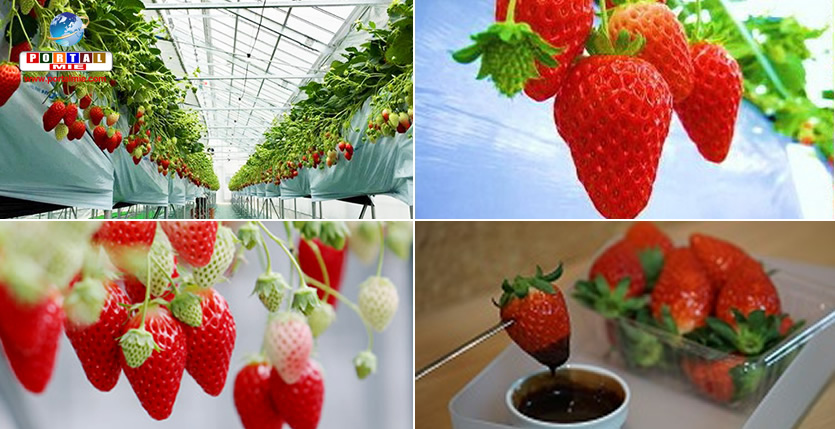 &nbspVea algunos locales en Aichi para colectar y saborear fresas