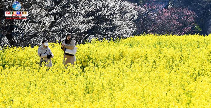 &nbspClima de primavera espalha carpete colorido de flores em Tóquio