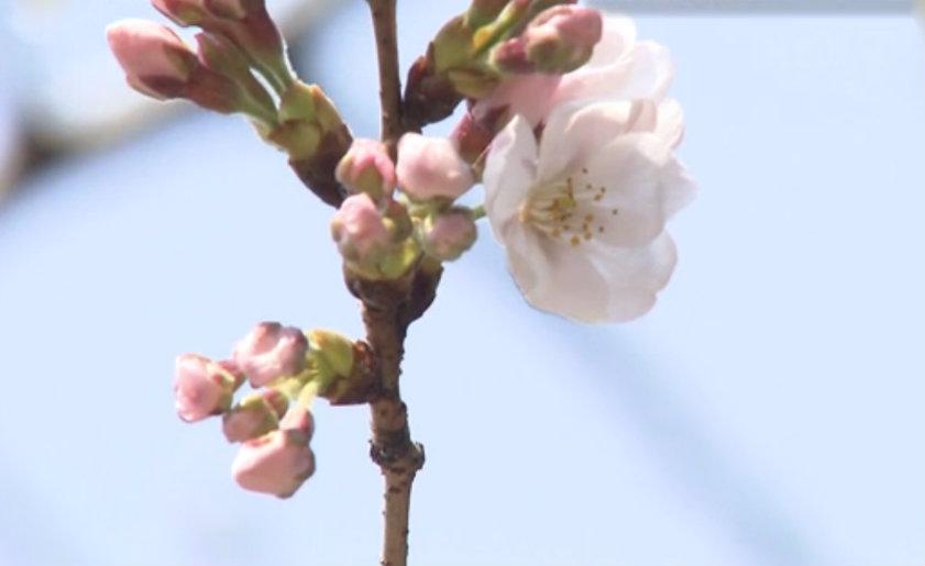 &nbspAnúncio oficial da floração de sakura em Tóquio
