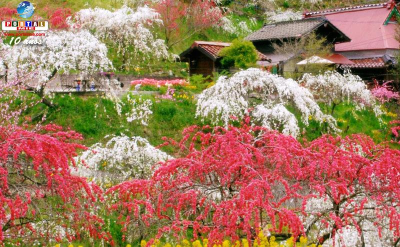 &nbspAichi: plena floração de 3 mil pessegueiros-chorões para se encantar (vídeo)