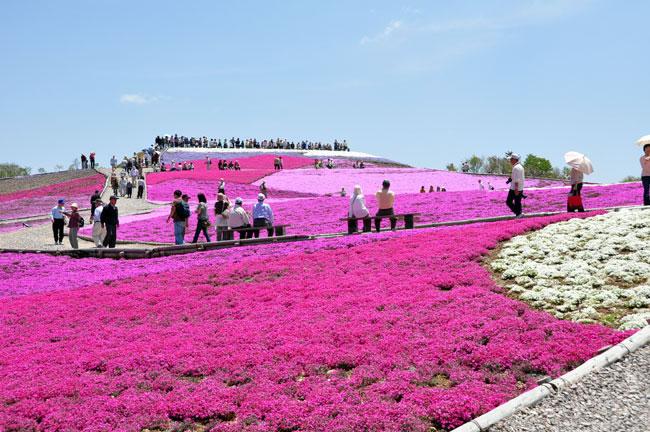 &nbspA beleza do Shibazakura no Chausuyama em Aichi