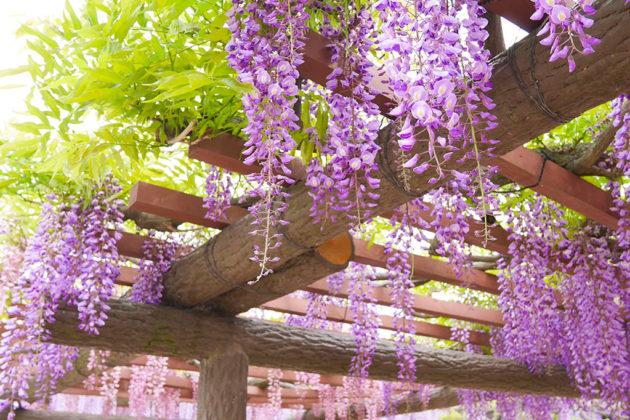 &nbspDica de passeio: festivais de glicínias em Aichi