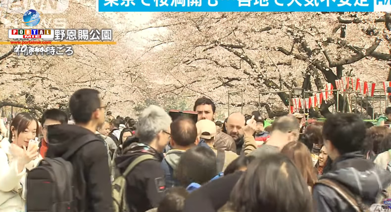 &nbspPlena floração das cerejeiras em Tóquio
