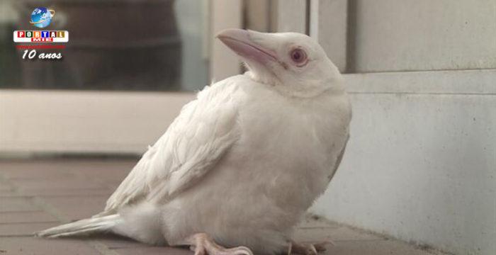 &nbspCorvo (Karasu) albino é capturado em Quioto
