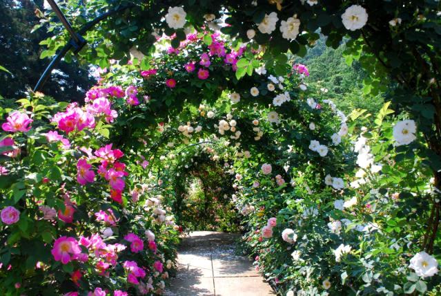 &nbspFestival das Rosas no Takinoiri Rose Garden em Saitama