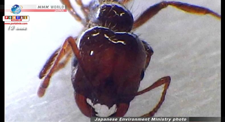&nbspFormigas venenosas também são encontradas em Nagoia