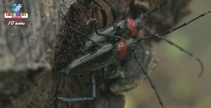 &nbspDanos causados por espécie de besouro se espalham pelo Japão