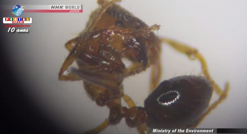 &nbspFormigas venenosas podem estar se espalhando por mais áreas no Japão