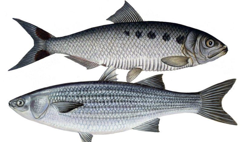 &nbspMilhares de peixes mortos em rio de Nagoia