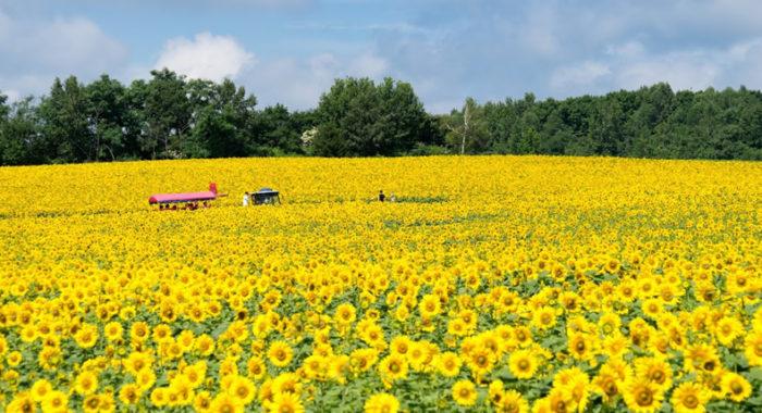 &nbspConheça um dos maiores campos de girassóis no Japão