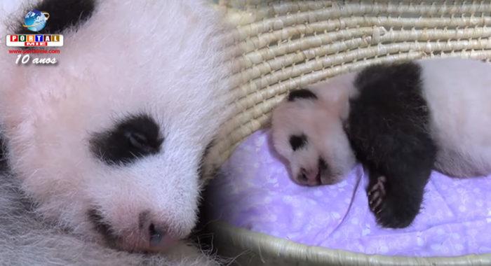 &nbspZoológico no Japão mostra novo vídeo de filhote de panda-gigante