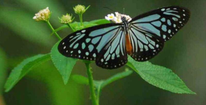 &nbspBorboletas migratórias em Aichi se preparam para viajar