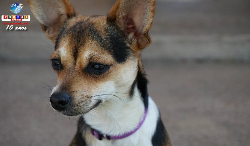 &nbspIdoso é algemado por vender cães da raça Chihuahua