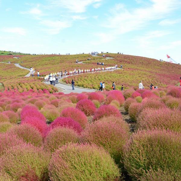 &nbspA bela colina de kochia do Parque Hitachi Seaside em Ibaraki