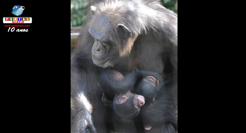 &nbspBebês chimpanzés gêmeos fazem primeira aparição pública em zoológico de Nagoia