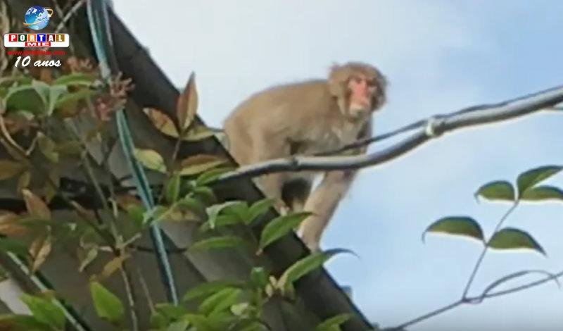 &nbspMacaco assusta moradores em Aichi