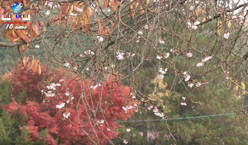 &nbspSakura com colorido de outono encanta visitantes