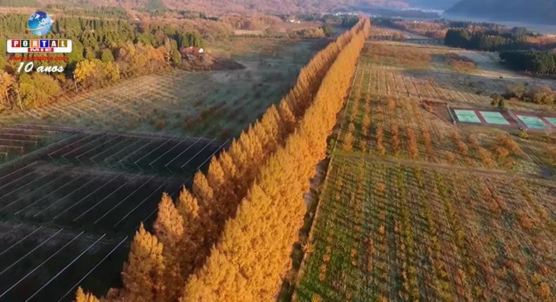 &nbspBrilho dourado de avenida de metasequoias encanta na província de Shiga
