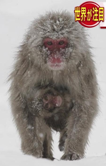 &nbspSó no Japão: macacos da neve se banham nas águas termais