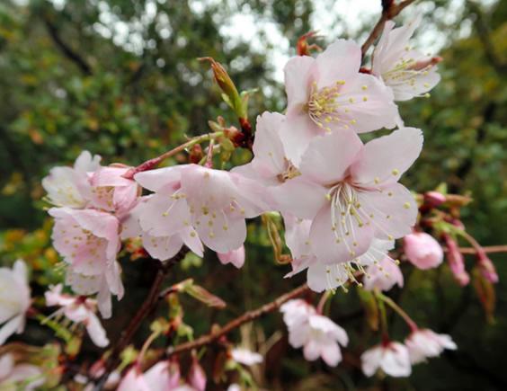 &nbspNova espécie de sakura é descoberta
