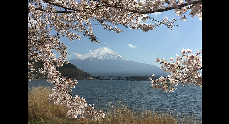 &nbspLocais populares para apreciar a beleza do sakura na área do Monte Fuji