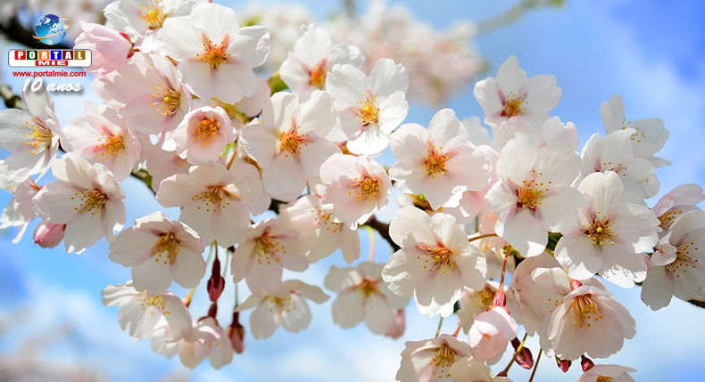 &nbspPrevisão da floração das cerejeiras