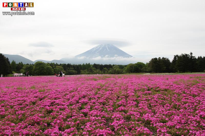 &nbspFuji Shibazakura Festival 2018