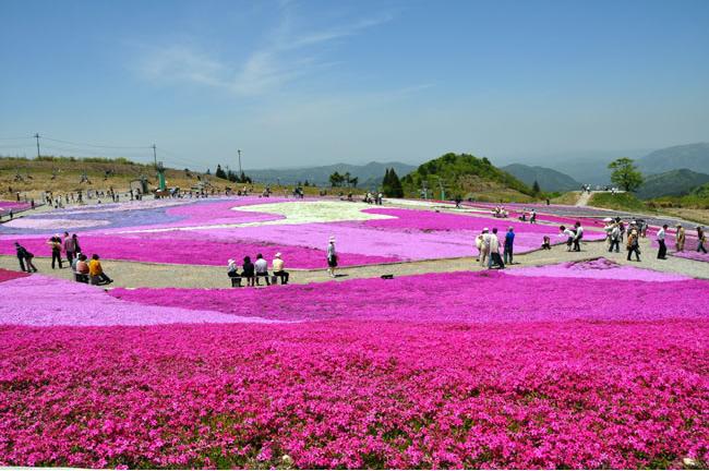 &nbspO carpete rosa de shibazakura no Chausuyama