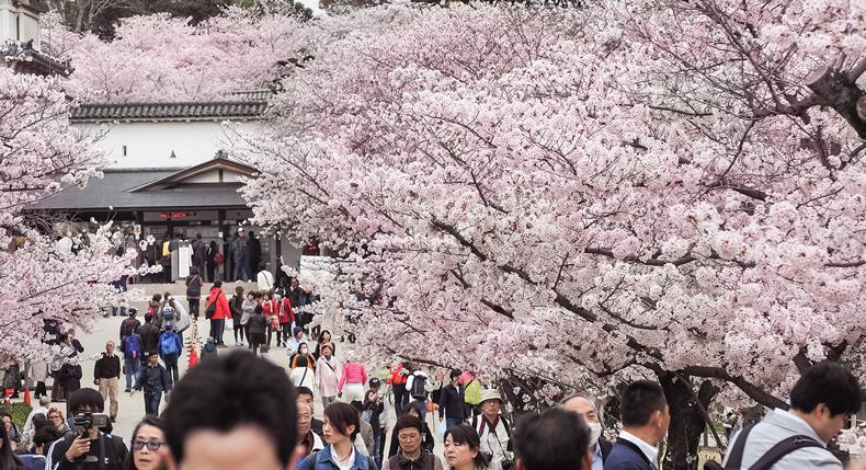 &nbspFestival de Sakura no belo e famoso Castelo de Himeji