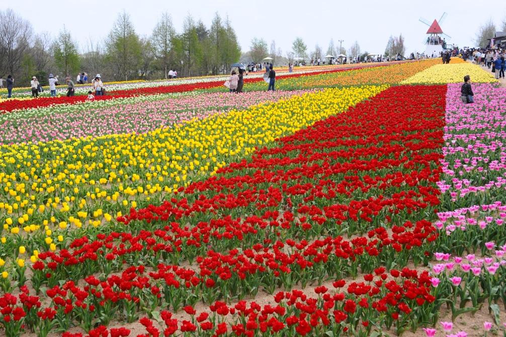 &nbspFestival das tulipas no Sera Kogen Farm em Hiroshima