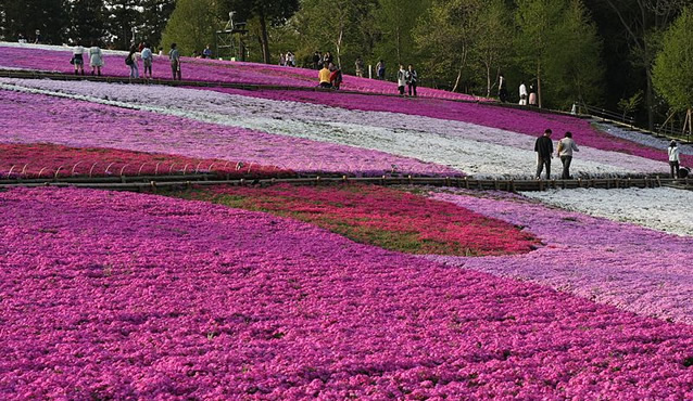&nbspFestival de Shibazakura no Parque Hitsujiyama em Saitama