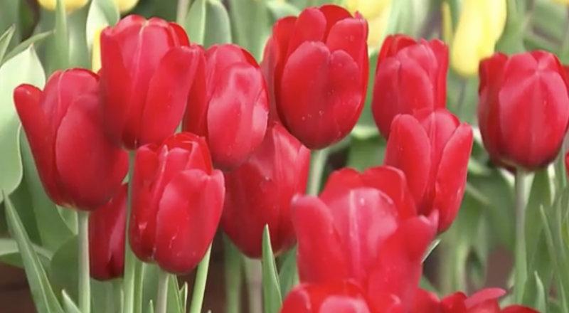 &nbspLazer gratuito em Tokai: apreciação de 20 mil tulipas coloridas