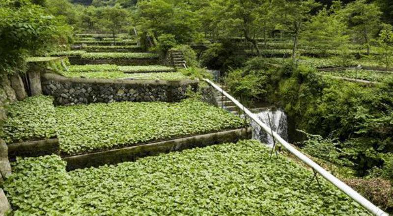 &nbspWasabi de Shizuoka é reconhecido como patrimônio agrícola mundial