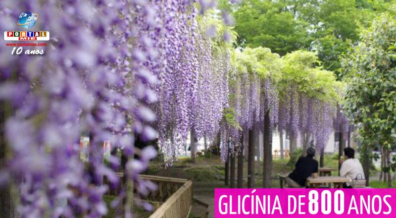 &nbspImperdível glicínia de 800 anos em Shizuoka