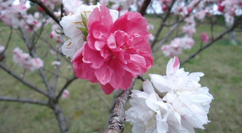 &nbspPasseio gratuito e imperdível em Nagano: flores de pessegueiro