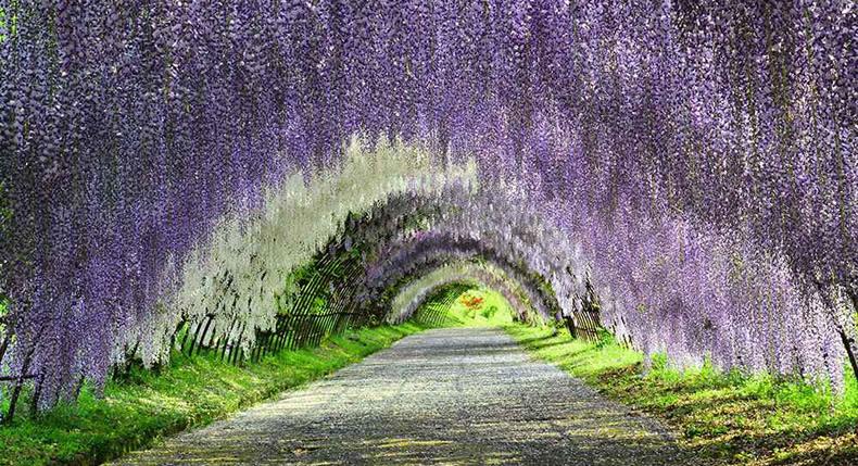 &nbspKawachi Fuji-en:jardim com um dos mais belos túneis de glicínias no Japão
