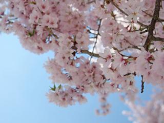 &nbspVisita gratuita para apreciar sakura de mais de 1.100 anos