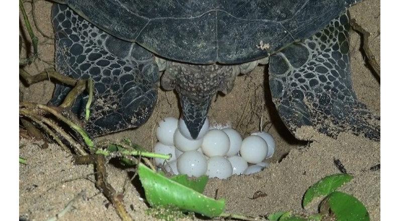 &nbspProteção das tartarugas marinhas: população limpa praias
