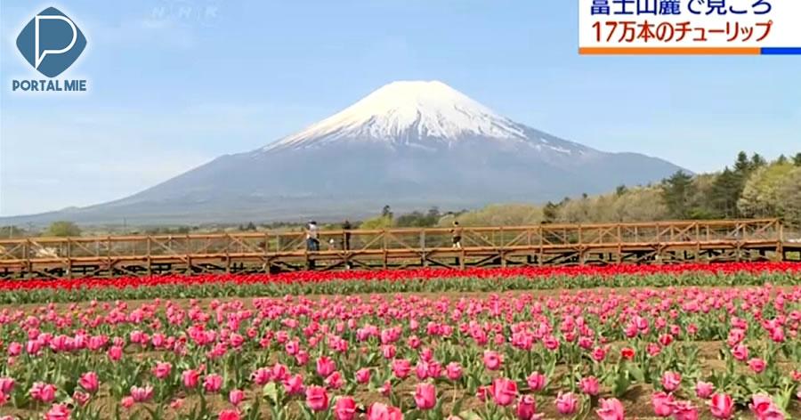&nbspTulipas e Monte Fuji : parque em Yamanashi atrai visitantes
