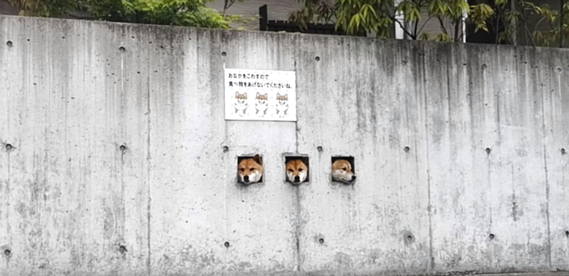 &nbspTrês cães adoráveis com suas cabeças em buracos de muro chamam atenção