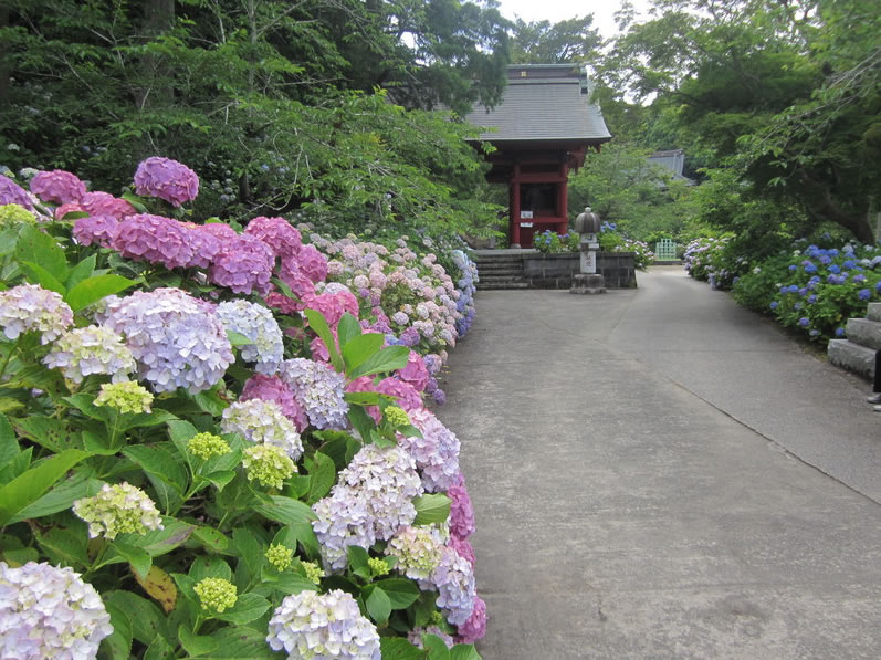 &nbspPleno auge das hortênsias em templo de Chiba