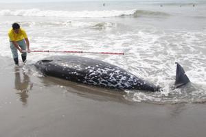 &nbspBaleia encontrada morta na praia em Shizuoka