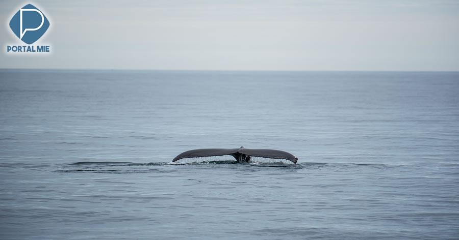&nbspJapão captura 177 baleias para 'pesquisa científica'