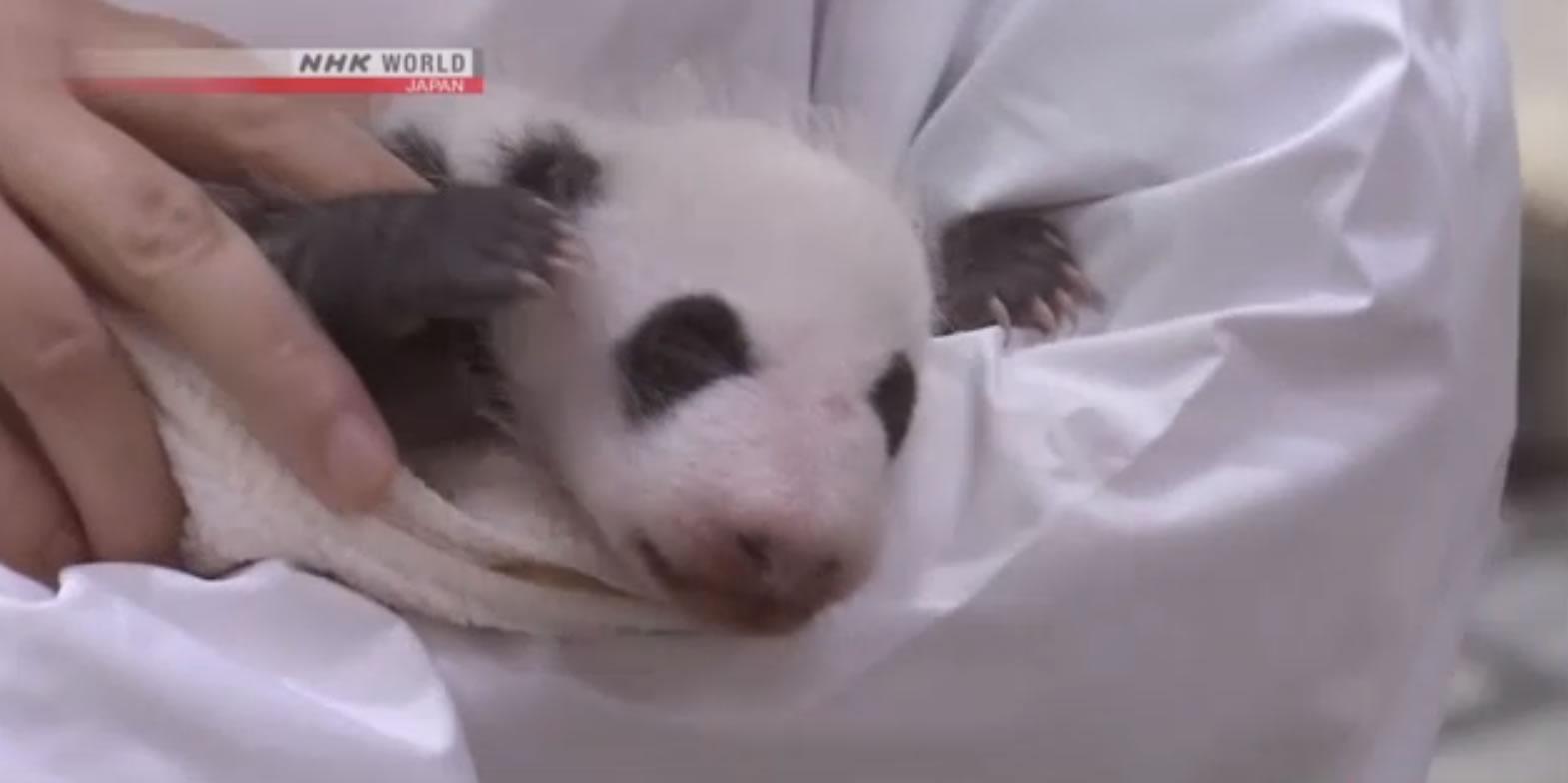 &nbspFilhote de panda é exibida para o público no zoológico em Wakayama
