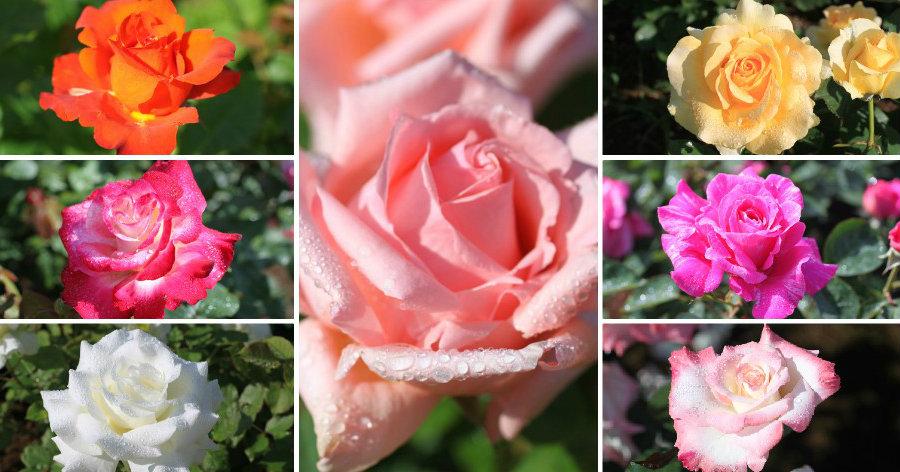 &nbspMesmo danificadas pelo tufão n.º 24 as 7 mil roseiras florescem