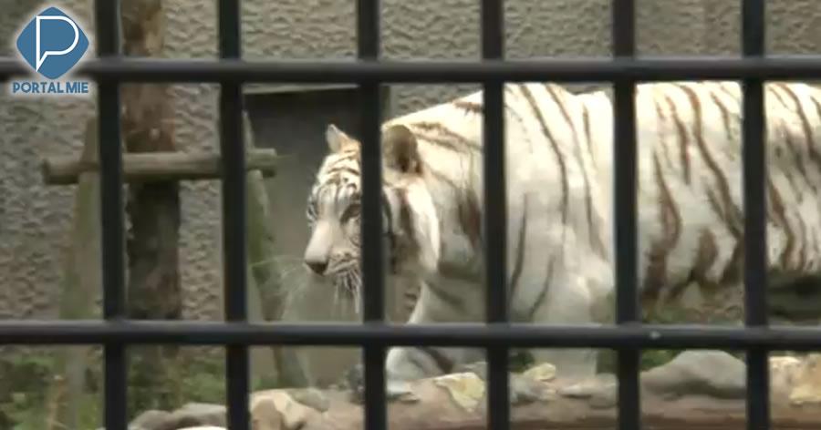 &nbspTratador é atacado por tigre em zoológico de Kagoshima