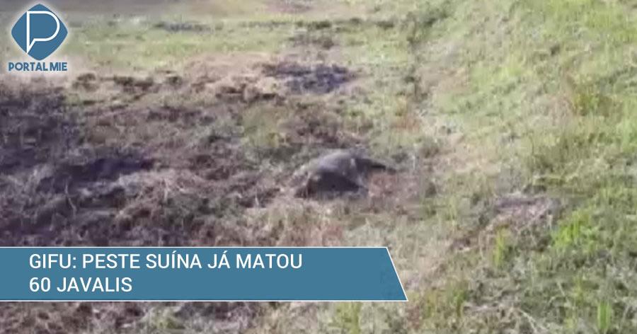 &nbspPeste suína mata mais um javali em Gifu, totalizando 60