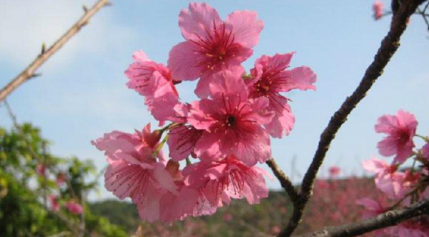 &nbspSakura em Okinawa para alegria do povo e turistas