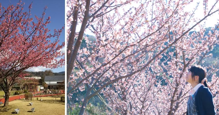 &nbspSakura com iluminação: entrada gratuita, em Shizuoka