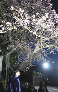 &nbspSakura de inverno em Shizuoka, bela de dia e de noite